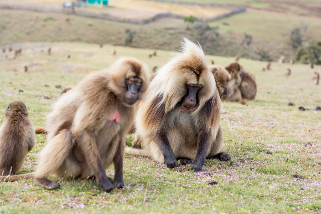 Gelada monkeys in Semien mountains