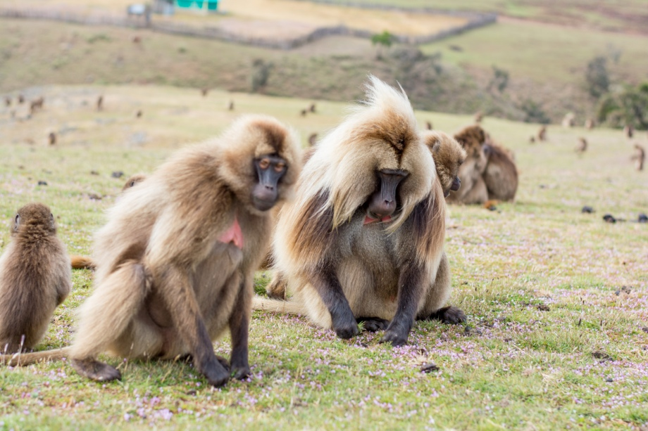 Gelada monkeys in Semien mountains