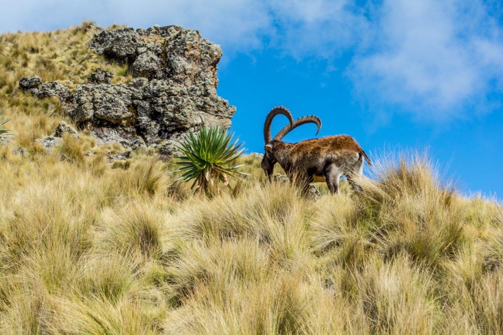 Welia Ibex in Semien mountains